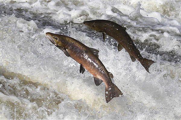 cuanto-viven-los-salmones-esperanza-de-vida